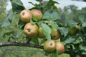 Apple_rosemary_russet