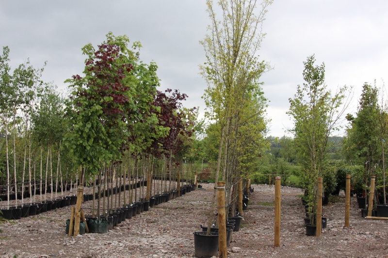 BORDER_NURSERIES_009_(800x533)